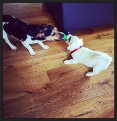Samen spelen... :-) #puppyEhkä #blijehond #puppyspam