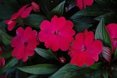 Find Harmony Magenta New Guinea Impatiens (Impatiens hawkeri 'Harmony Magenta') in Wilmette Chicago Evanston Glenview Skokie Winnetka Illinois IL at Chalet Nursery (New Guinea Impatiens, Busy Lizzie, Busy Lizzy) Impatiens Flowers, Winnetka Illinois, Cottage Garden Plants, Types Of Soil, Container Plants, Hanging Baskets, Growing Plants, Magenta, Outdoor Gardens