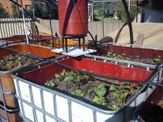Vermiponics! A twist on the hydroponics/aquaponics idea. This system works as a hydroponically cycled compost bin. All food and garden scraps are put in the planters. Worms thrive. Plants thrive. The tank below the planters contain two goldfish each that eat bugs (and thrive on that alone.) Intriguing!