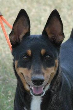 12/28/14 sl ~Heineken~ Corgi Mix • Adult • Male • Small Canyon Lake Animal Shelter Society Canyon Lake, TX