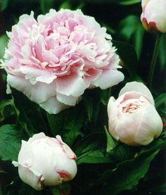 Paeonia lactiflora 'Sarah Bernhard'