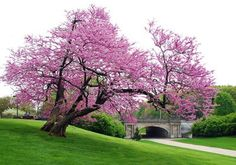 Spring is here - heralded by the redbuds in bloom Trees And Shrubs, Flowering Trees, Redbud Trees, The Giving Tree, Purple Trees, Bonsai Plants, Spring Landscape, Tree Shapes, Spring Is Here