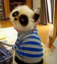 Adorable Panda Looking Kitten -