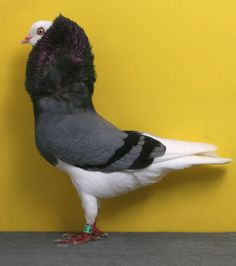 ODC CH OC13160 Layne Gardner © National Pigeon Association website