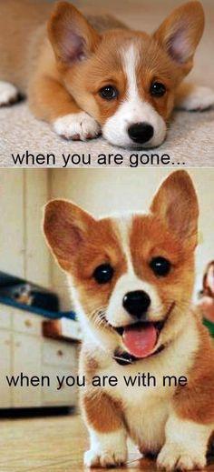 Corki Puppy