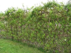Living willow fence by triciamorimori, via Flickr