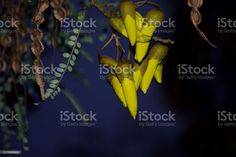 New Zealand Native (Sophora) Kowhai Bloom in Spring at Dusk New Zealand's Native Kowhai Tree in Bloom in Springtime at Dusk. Kōwhai are small woody legume trees within the genus Sophora that are native to New Zealand. Abstract Stock Photo What Image, Image Now, Spring Images, Photo Composition, Abstract Images, Video New, Feature Film, Photo Illustration, Woody