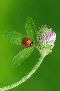 Lady bug on flower Beautiful Bugs, Beautiful Butterflies, Beautiful World, Photo Coccinelle, Beautiful Creatures, Animals Beautiful, Animals And Pets, Cute Animals, Fotografia Macro