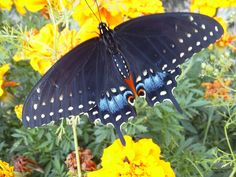 Planting DILL attracted these Eastern Black Swallowtails to our yard.  they lay their eggs on the dill, and the caterpillars eat it. we have followed three cycles of butterflies now, and released more than 15 so far.