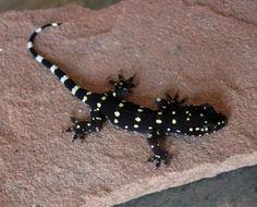 Hemidactylus prashadi (juvie)