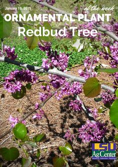 Redbuds are one of our more popular early spring-flowering small trees. The most common redbud species is the Eastern redbud – Cercis canadensis – the one we primarily plant in Louisiana. Other redbuds include forms that are native to Mexico, Texas and Oklahoma.  Redbuds usually start flowering in mid-February in Louisiana and continue through late March.