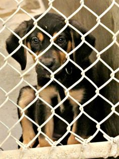 Cutie Pie! Hound Mix Puppy Male! 0-4 months, Kennel A15, Available 5/19/2014.  Located at Odessa, Texas Animal Control. 432-368-3527.
