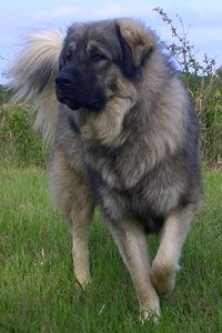 Sarplaninac/ don't let the fluffy face fool you, no one comes in his yard with out his permission ..