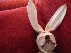 Photos of puppies and other cute dog pets in Easter bunny ears and funny costumes. Cute Baby Animals, Funny Animals, Animal Funnies, I Love Dogs, Puppy Love, Bulldogs, Pet Costumes, Mans Best Friend, Dog Life