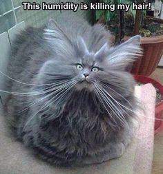 Bad Hair Day Cat cute animals cat cats adorable animal kittens pets kitten funny pictures funny animals funny cats Tap the link for an awesome selection cat and kitten products for your feline companion! Cute Animal Memes, Funny Animal Quotes, Animal Jokes, Cute Funny Animals, Cute Baby Animals, Funny Cute, Cute Cats, Hilarious, Super Funny