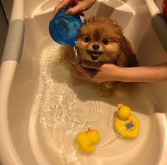 """14 Reasons Pomeranians Are The Worst Indoor Dog Breed Of All Time - Dog Red Line Tips for Training and Educating Dogs """"Man's best friend"""", """"The ideal pet"""", Cute Baby Animals, Animals And Pets, Funny Animals, Cute Puppies, Cute Dogs, Dogs And Puppies, Doggies, Yorkie Puppies, Teacup Puppies"""