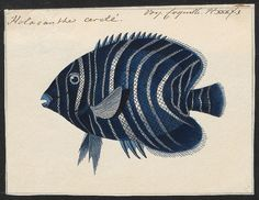 Engelvis - Pomacanthus semicirculatus | Flickr - Photo Sharing!