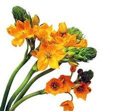star of bethleham- orange