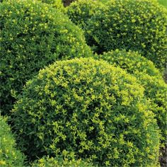 Potted Trees, Trees To Plant, Garden Express, Leigh On Sea, Landscape Elements, Green Box, Classic Garden, Leaf Coloring, Evergreen Shrubs