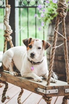 jackrussell terrier on a swing | animals + pet photography #dogs