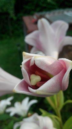 Narodziny lilii