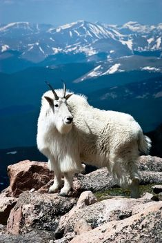 Mountain Goat Mount Evans Colorado by AllBrandNu on Etsy Big Horn Sheep, Animal Games, Scenic Photography, Photography Tips, Rocky Mountains, Cattle, Beautiful Creatures, Pet Birds, Cutest Animals