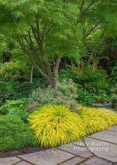 Vashon Island, WA: Japanese forest grass (Hakonechloa macra 'All Gold') lights up a shadel garden featuring pieris, hellebores and hostas in Froggsong Garden in summer