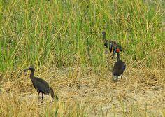 Red-naped ibis (Pseudibis papillosa) or Indian black ibis or black ibis Nal Sarovar Gujarat