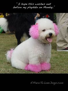 Oh to be a pink puppy pom pom! Cute Dogs And Puppies, I Love Dogs, Funny Animals, Cute Animals, Dog Mixes, Funny Photography, Fluffy Dogs, Pet Life, Dog Halloween