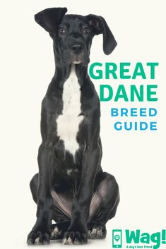Great Dane Breed Guide-- Read our complete guide for everything you need to know about Great Danes, whether you're getting a new puppy or you already own a great dane dog! Great Dane Facts, Great Dane Funny, Great Dane Breed, Great Dane Dogs, Dog Best Friend, Black Lab Puppies, Yorkshire Terrier Puppies, Puppy Breeds, New Puppy