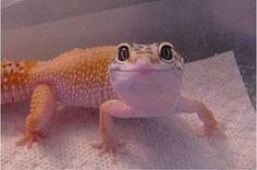 Leopard Gecko--maybe the boys next pet?
