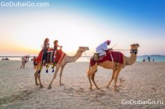Dubai Camels Images. Camels play an important role in Dubai life. The fact that Dubai is a city that is set in the desert, their roots were based on the early ... http://www.godubaigo.com/portfolio-view/dubai-camels-pictures/
