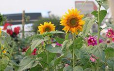 Les tournesols : des fleurs à installer en bordure de potager