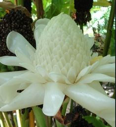 Strange Flowers, Unusual Flowers, Unusual Plants, Rare Flowers, Rare Plants, Exotic Plants, Types Of Flowers, Amazing Flowers, White Flowers