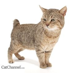 The Pixiebob is a domestic cat visually resembling the North American Bobcat. Despite its fierce look, the Pixiebob is noted for its loving, trustworthy and tractable personality.