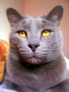 Russian Blue Cat Saying Hello