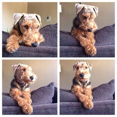Photo shoot of a gorgeous Welsh Terrier