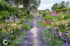 Nepeta and Rose Garden