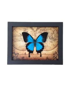 Real Framed Butterfly Taxidermy Insects by AsanaNaturalArts