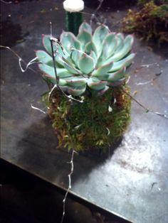 Sokulent med mose og en liten kvist Succulents, Plants, Succulent Plants, Plant, Planets