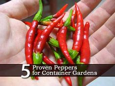 5 Peppers for Container Gardens