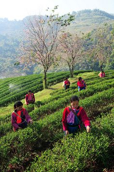 Picking Tea at Chiang Rai Tea Plantation, Thailand Chiang Rai, Tea Art, Beautiful Places In The World, Plantation, Travel Images, Thailand Travel, People Around The World, Southeast Asia, Beautiful Landscapes