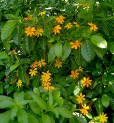 The golden gardenia - GardenDrum