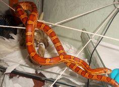 DIY Snake Enrichment! - CornSnakes.com Forums