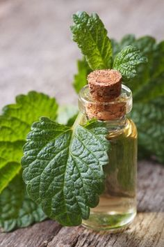 Herbal Medicine Immune-Boosting Lemon Balm Tincture - Health and Wellness - Mother Earth Living - Take advantage of lemon balm's healing properties with this immune-boosting tincture. Healing Herbs, Medicinal Herbs, Herbs For Health, Health And Wellness, Health Tips, Holistic Wellness, Natural Health Remedies, Herbal Remedies, Holistic Remedies