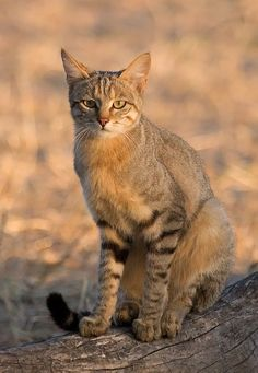 The Ancestor of All Domestic Cats Meet the African wildcat (Felis silvestris lybica), also called Near Eastern wildcat. It's found in North and Subsaharan Africa and also around the periphery of the Arabian Peninsula. Small Wild Cats, Big Cats, Cool Cats, Cats And Kittens, Siamese Cats, African Wild Cat, Wild Cat Species, Sand Cat, Gato Grande