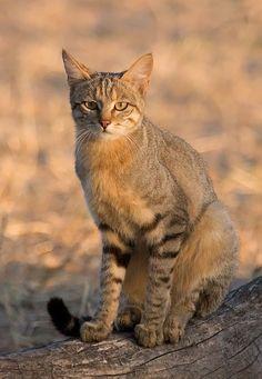 African wildcat (Felis silvestris lybica), also called Near Eastern wildcat.