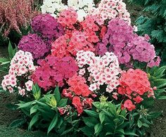 Phlox: Cut when clusters are one-half open. Split stems. Condition overnight in deep, warm water.