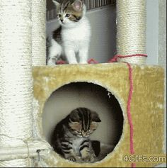 A kitten discovering the effects of gravity and the other kitten is like 'dude what r u doing?'