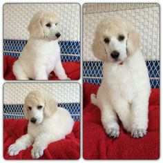 This is my boy Kody at 8 weeks old and he's almost 8 months old in a couple of weeks! He's being trained as my mobility service dog right now and I miss him SO much! I wanted to share my Standard Poodle puppy with all of you in this awesome group!! Thank you again for inviting me @bunchou2 !! :)